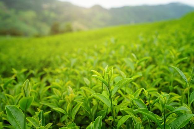 Germoglio del tè verde e foglie fresche con luce soffusa, piantagione di tè