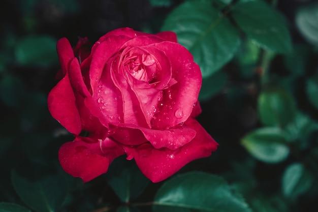 Germoglio di fiore della rosa rossa che fiorisce nel giardino, parete di estate