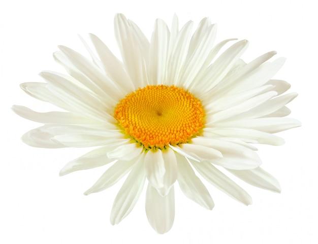 Germoglio di un fiore della margherita con i petali bianchi isolati