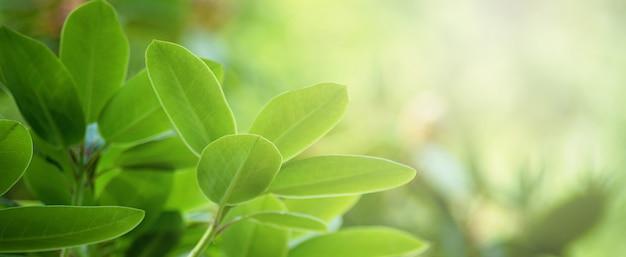 Germoglio e foglie verdi del rododendro in primavera
