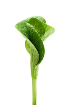 Germoglio verde isolato
