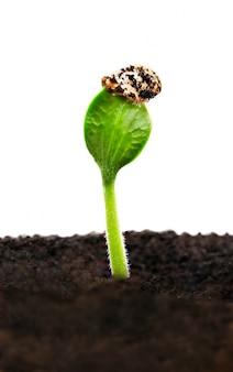 Germoglio verde