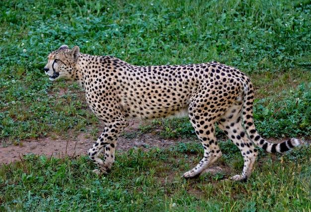 Ghepardo che cammina attraverso il prato