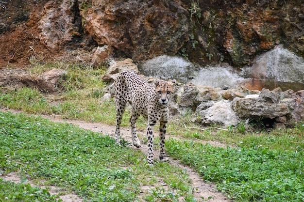 Ghepardo che cammina attraverso un campo