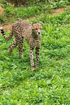 Ghepardo selvaggio solo sull'erba