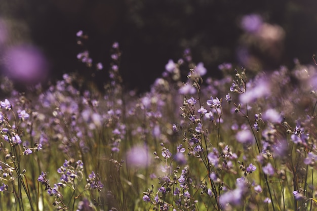 Giacimenti di fiore porpora di mattina.