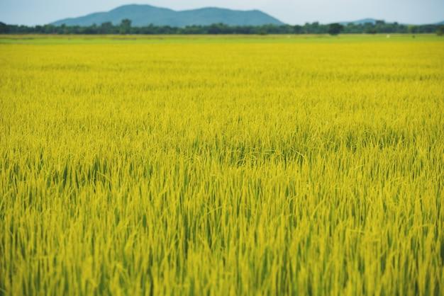 Giacimento a terrazze maturo verde del riso in tailandia