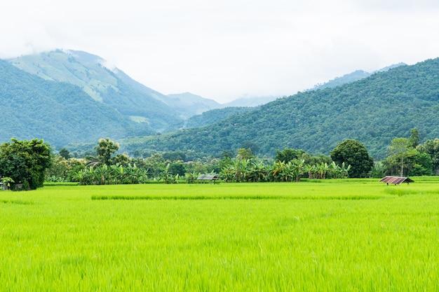 Giacimento a terrazze verde del riso a nan, tailandia.
