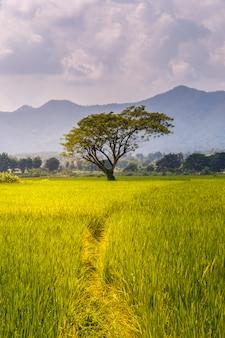 Giacimento a terrazze verde del riso in mae la noi, provincia di maehongson, tailandia
