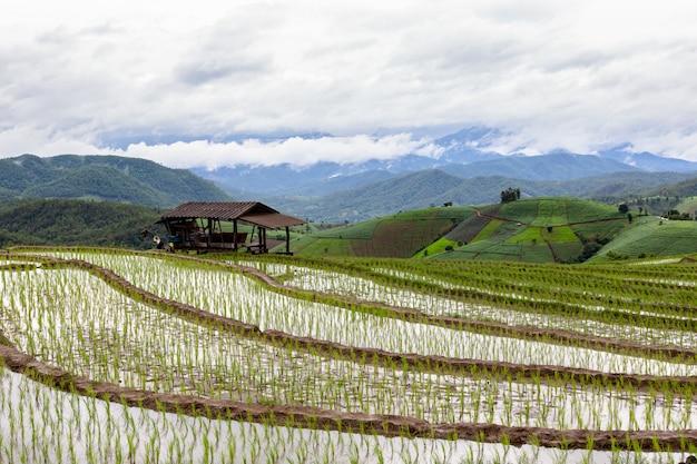 Giacimento a terrazze verde del riso in tailandia