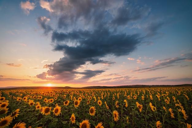 Giacimento dei girasoli al tramonto