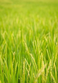 Giacimento del riso alla tailandia del nord