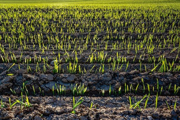 Giacimento del riso che cresce con il tramonto