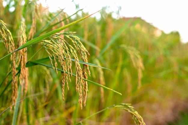 Giacimento del riso con cielo blu