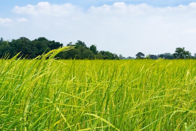 Giacimento del riso di verde giallo sulla priorità bassa del cielo blu