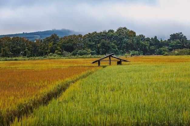 Giacimento del riso in tailandia