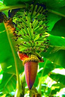 Giacimento della banana in india