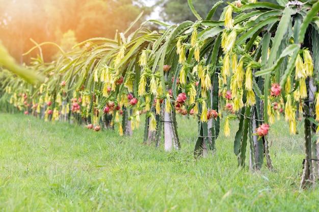 Giacimento della frutta del drago o paesaggio del campo di pitahaya.
