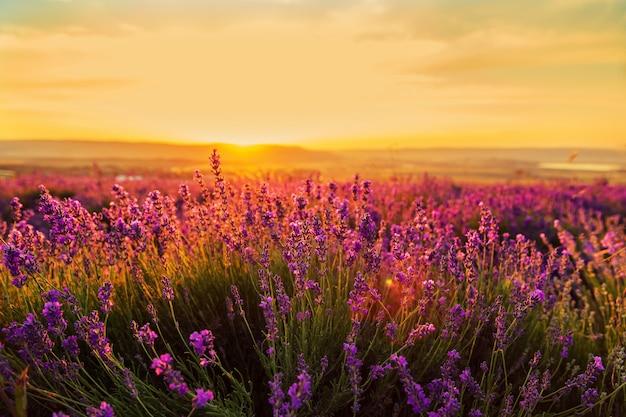 Giacimento della lavanda al tramonto. grande paesaggio estivo.