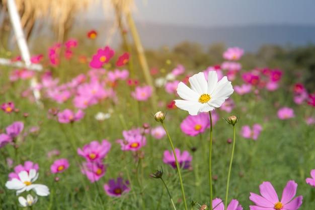 Giacimento di fiore dell'universo con cielo blu, stagione di fioritura dei fiori della molla del giacimento di fiore dell'universo