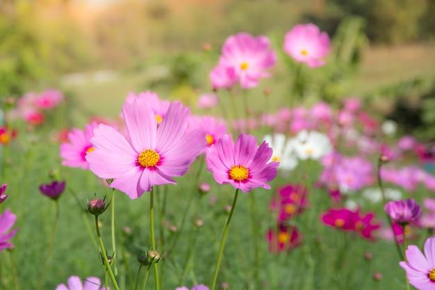 Giacimento di fiore dell'universo con cielo blu, stagione di fioritura dei fiori della molla del giacimento di fiore di universo