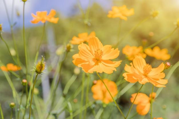 Giacimento di fiore giallo dell'universo con cielo blu, stagione di fioritura dei fiori della molla del giacimento di fiore dell'universo