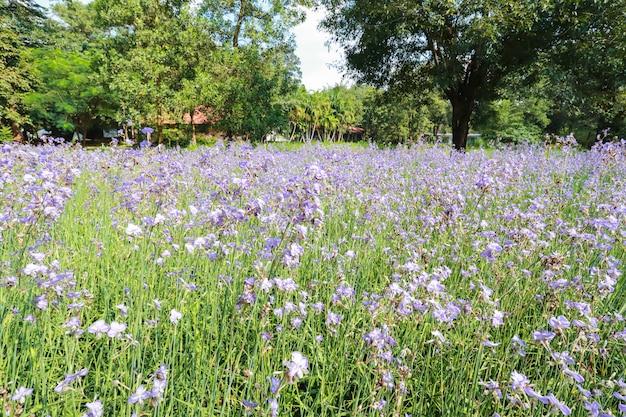 Giacimento di fiore naga-crestato in natura
