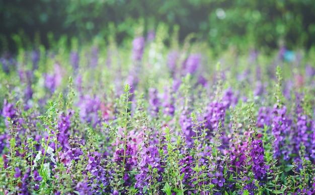 Giacimento di fiore porpora al parco. primo piano di angelonia goyazensis o little turtle flowers