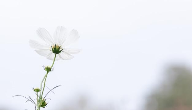 Giacimento di fiori bianco dell'universo del bello fuoco selettivo molle con lo spazio della copia