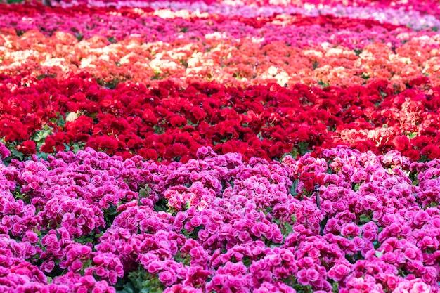 Giacimento di fiori con alba