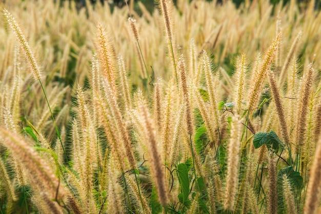 Giacimento di fiori dell'erba di poaceae e fondo di poaceae