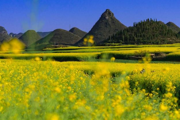 Giacimento di fiori giallo del seme di ravizzone con cielo blu alla contea di luoping, cina