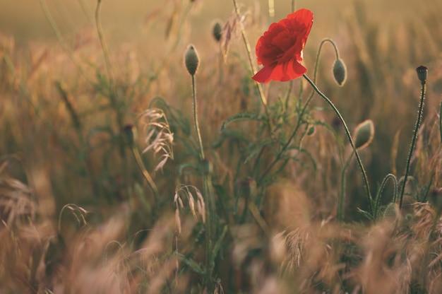 Giacimento di fiori rosso del papavero, fuoco selettivo. stile vintage
