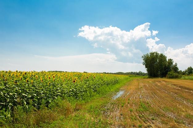 Giacimento di grano dopo la raccolta dalla mietitrebbia. grano tritato. stagione della raccolta del grano