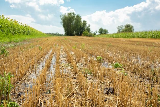 Giacimento di grano dopo la raccolta dalla mietitrebbia. grano tritato. stagione della raccolta del grano.