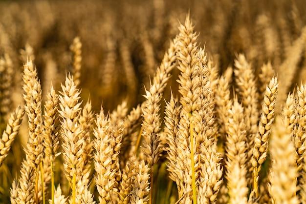 Giacimento di grano dorato e giorno soleggiato. gambi di grano svolazzano nel vento nel campo.