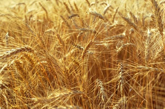 Giacimento di grano dorato e giorno soleggiato