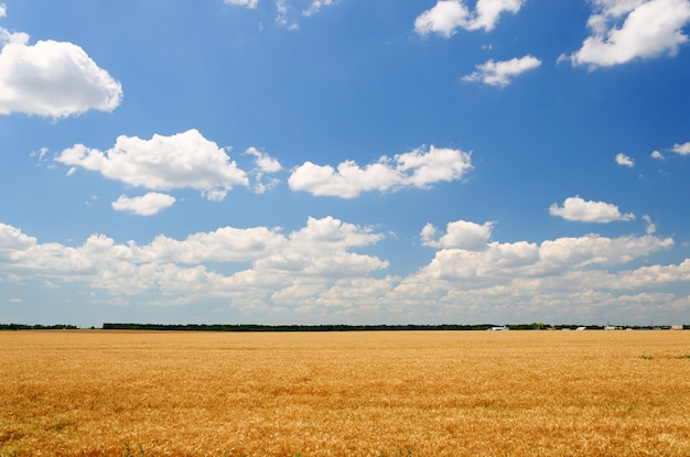 Giacimento di grano giallo sotto cielo blu