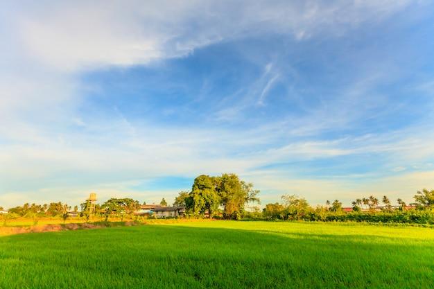 Giacimento e cielo blu del risone del paesaggio