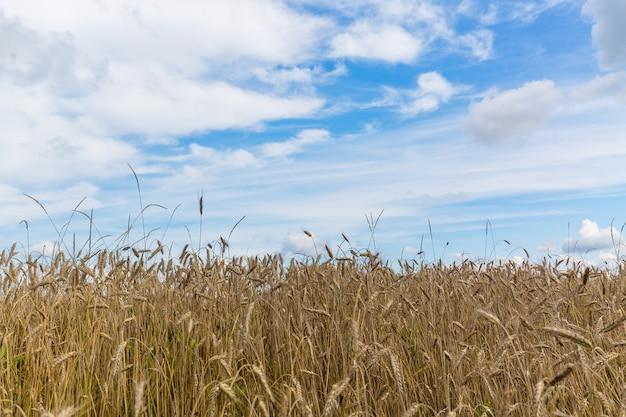 Giacimento e cielo blu di grano in estate