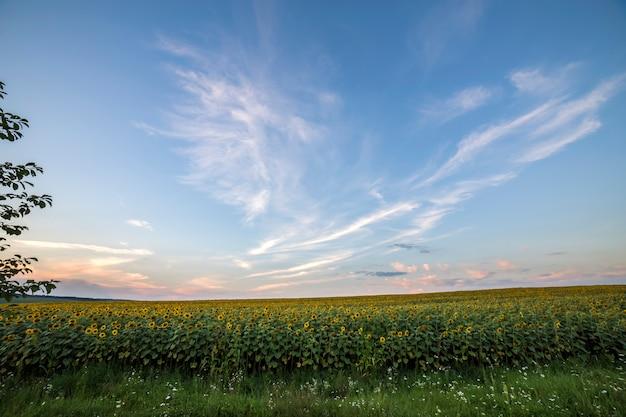 Giacimento maturo giallo luminoso di fioritura dei girasoli. agricoltura, produzione di petrolio, bellezza della natura.