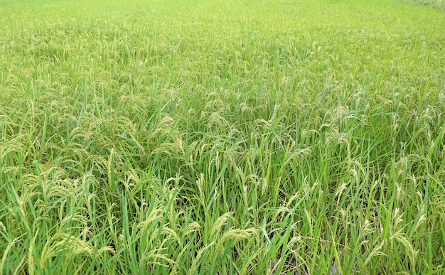 Giacimento o risaia del riso in tailandia.