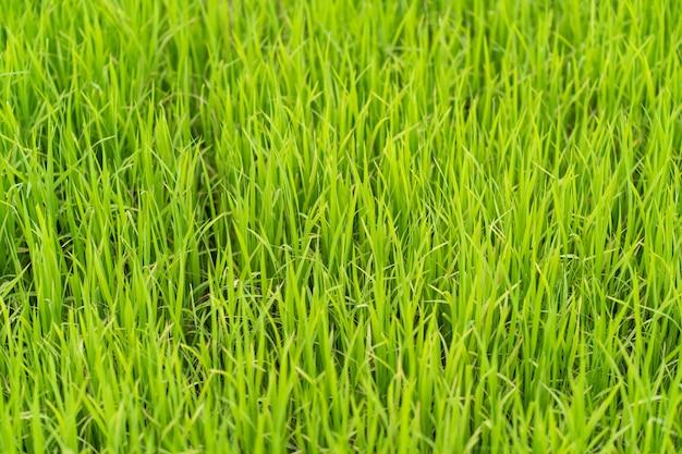Giacimento verde del germoglio del riso. colpo da vicino