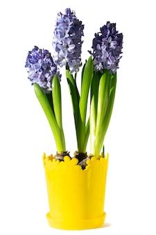 Giacinti di fioritura blu in un vaso giallo su un bianco isolato