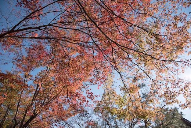 Giappone. il fogliame colorato di autunno acero giapponese del tempio di tenryu-ji.