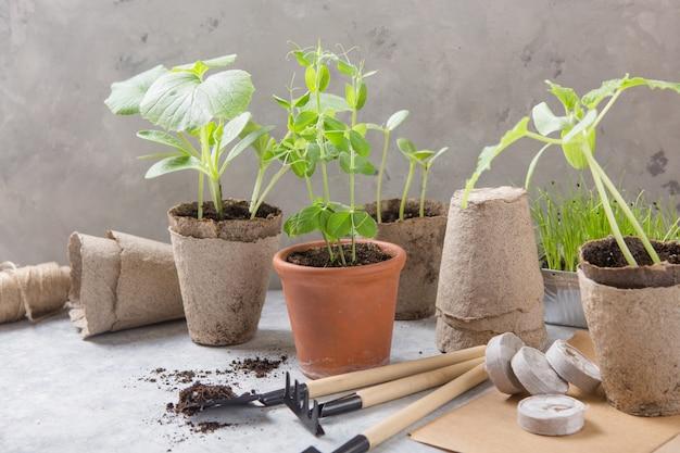 Giardinaggio agricolo. piantine cetriolo e pera in vaso di torba con terreno sparso e attrezzo da giardino. impostare per crescere su fondo in legno.