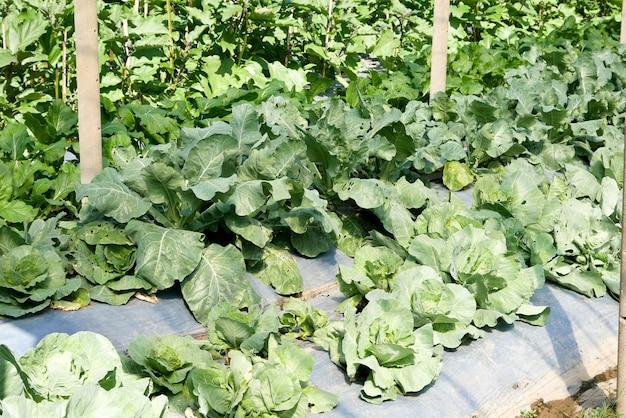 Giardinaggio coltivazione di verdure, coltivazione di cavoli biologici