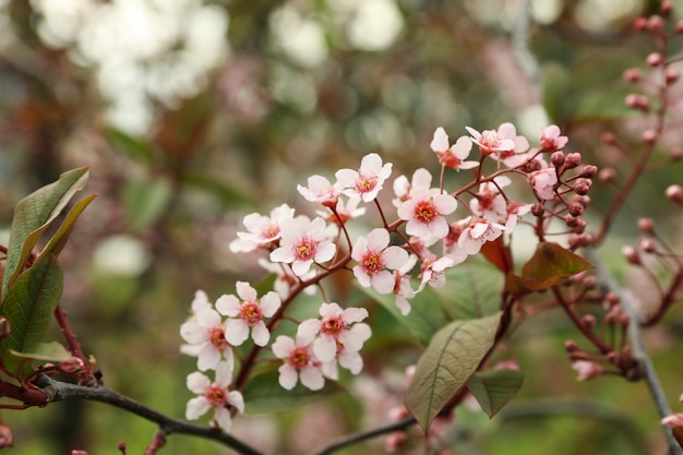 Giardini fioriti in primavera, albero di fioritura di primavera