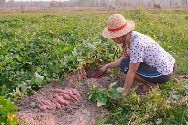 Giardiniere che raccoglie patata dolce nel giardino