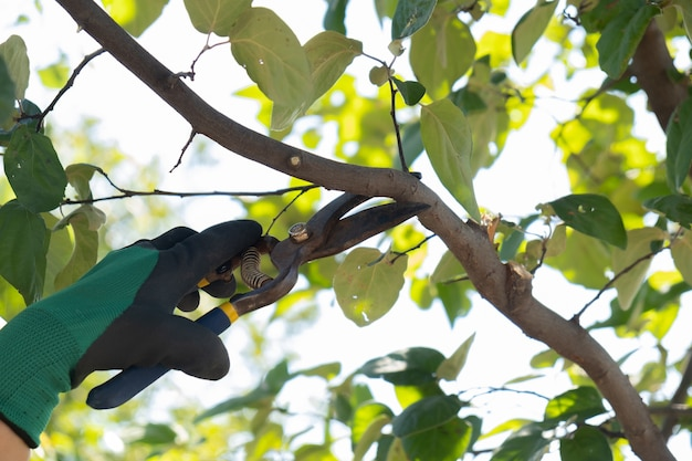 Giardiniere guantato potatura alberi con cesoie